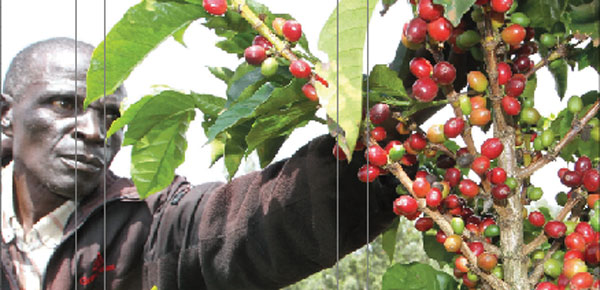 A farmer inspects a coffee bush. Farmers in Nyeri have formed Kenya Coffee Producers Association, an umbrella body to shield them from unscrupulous dealers.