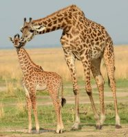 Girafee at Tarangire NP