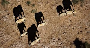 KWS monitoring elephants with drones in Kenya : Elephants casting shadows Amboseli National Park